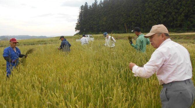小麦畑の草とり やってみましたが・・・
