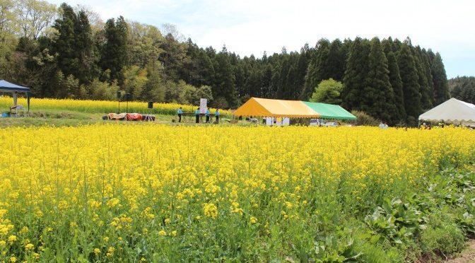 野出島の里 菜の花まつり、開催しました