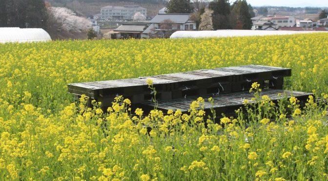 菜の花まつりに向けてプロジェクト準備開始及び神宮寺花木植樹支援