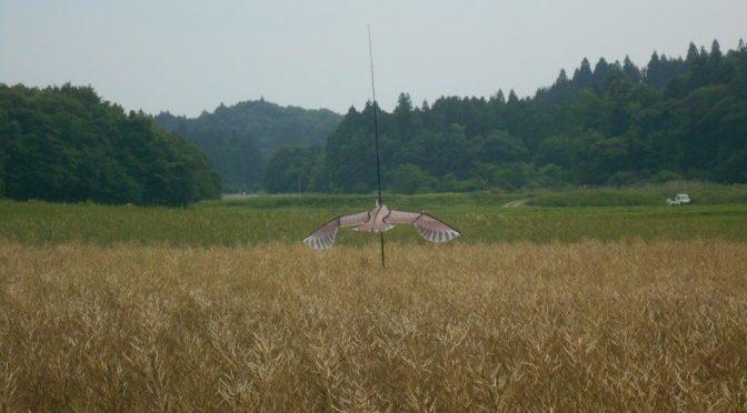菜種畑に凧をあげてみたよ