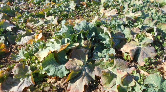 今年最初の農作業  菜種と小麦の追肥