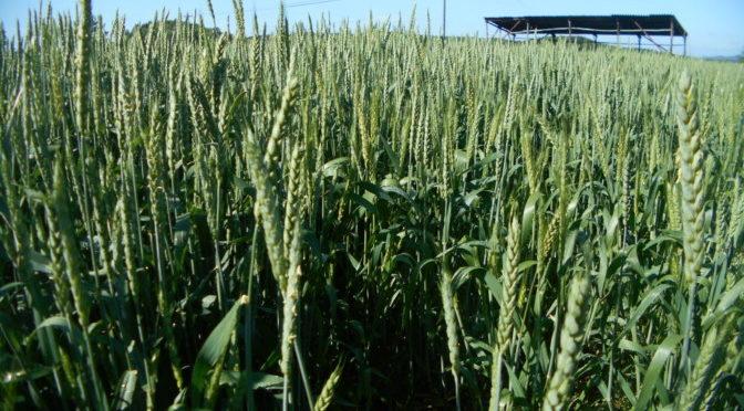 小麦の防除作業を行いました